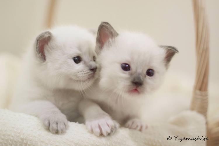 ラグドール子猫1