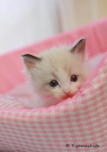 ラグドール子猫5