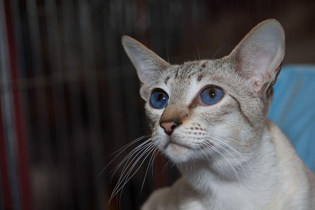 シールタビーシルバーシャム猫