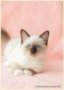 ラグドール子猫6