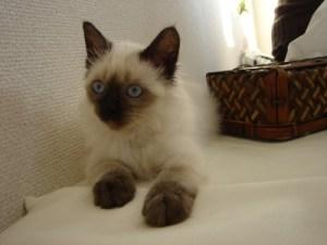 ラグドール子猫14