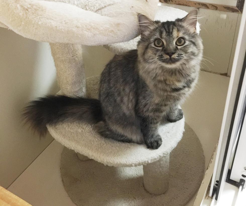 ミヌエット子猫