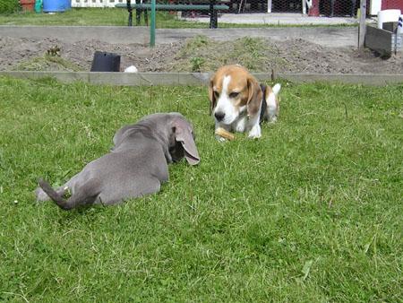 Vuxen beagle bemöter valpteknik (2/5)
