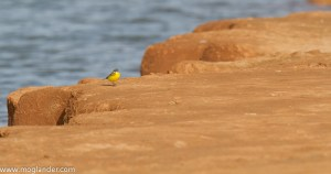 Plage Blanche Yellow Wagtail