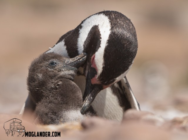 Penguin parents are very attentive