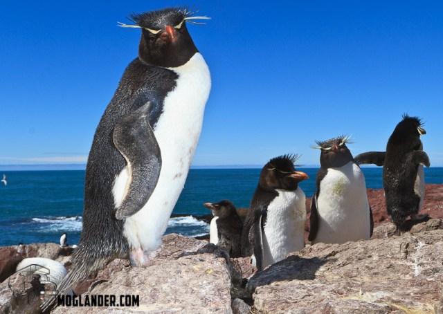 The punks of the Penguin World - the Rockhopper