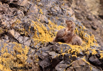 Sea Otters at play on the rocks