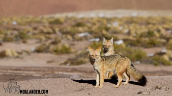 Andean Foxes, cute or what?