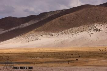 Llama's in the wild