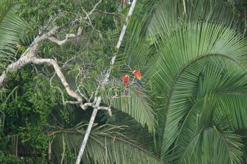 When you can see them, the  Macaws really stand out against the green foliage or the blue/grey skies
