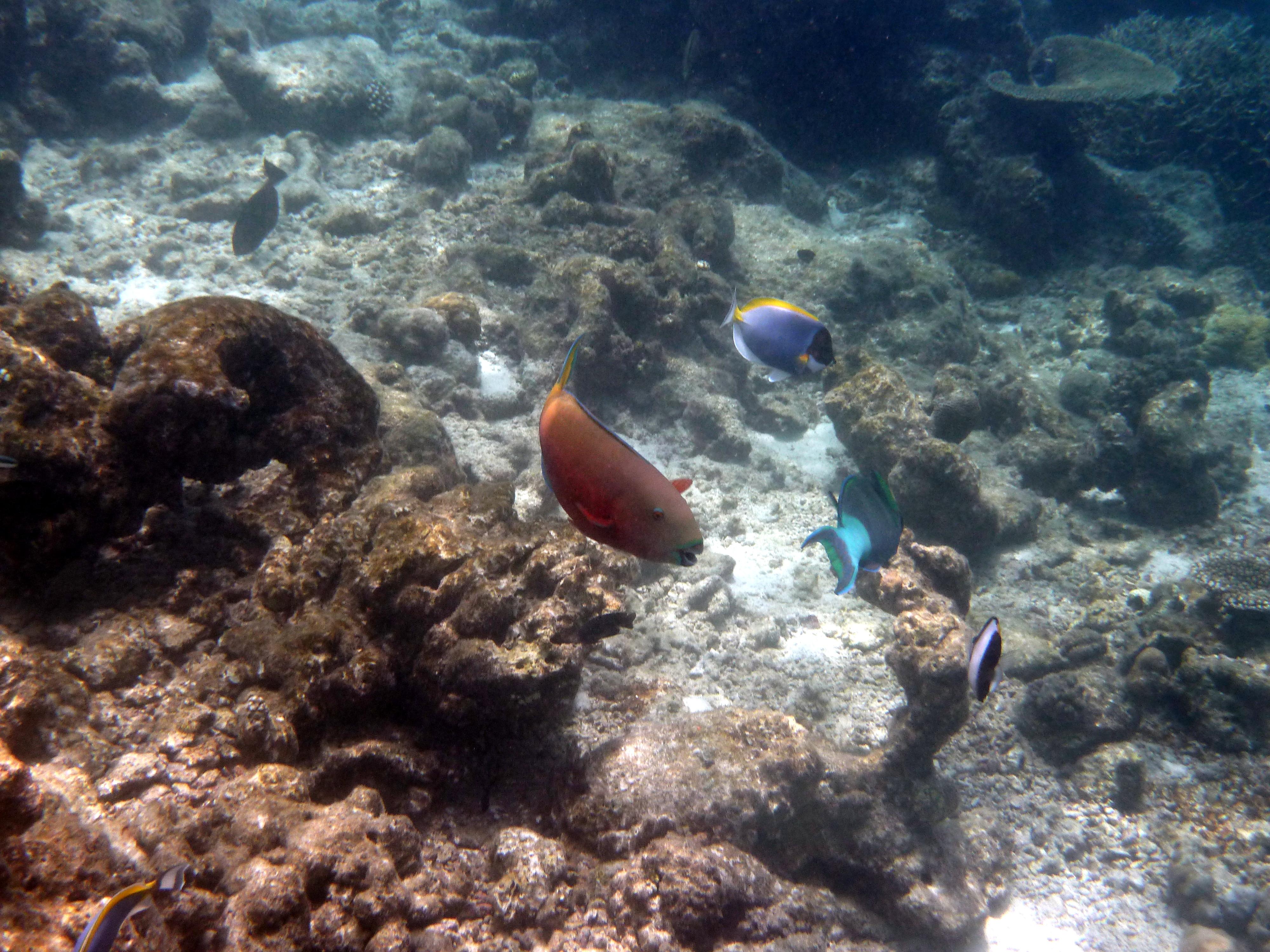 モルディブ_バロス_家族旅行_体験ダイビングでウミガメと泳ぐ_きれいな魚達