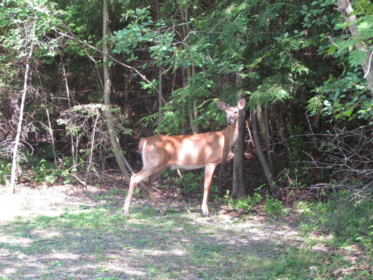 Doe! A deer! A Female deer! Basking in a Ray, a drop of golden sun!