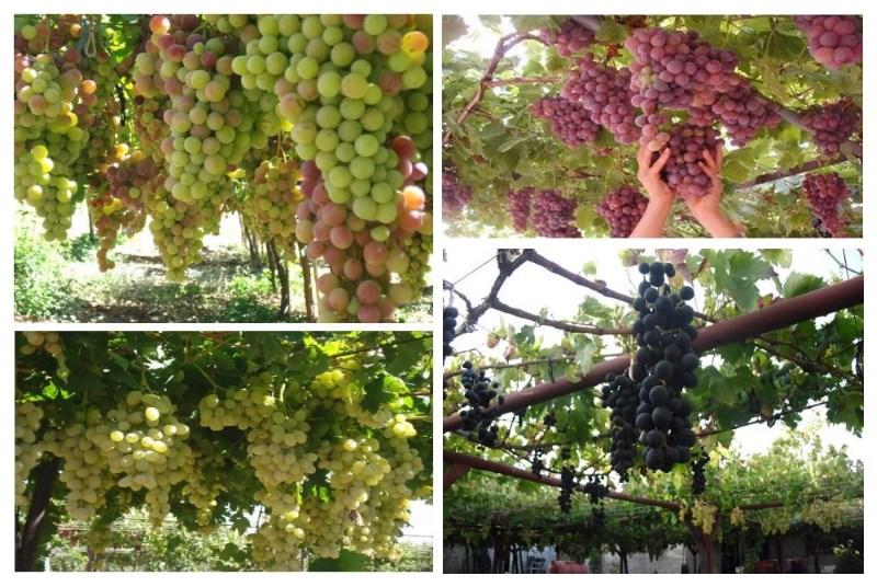 Grapes-Farms