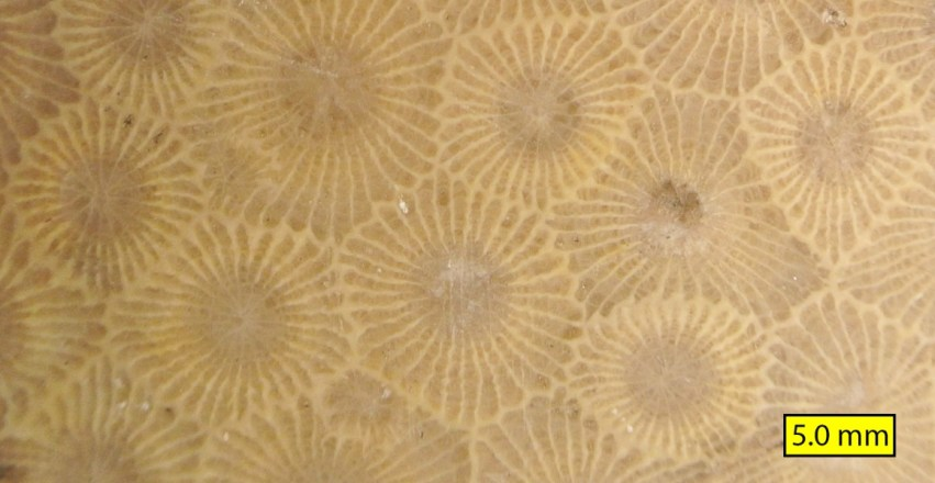close up of the petoskey stone pattern