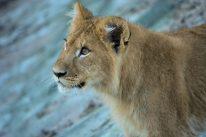 Baby Lion Kopenhagen Zoo