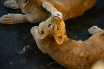 Baby Lion spottet the camera Kopenhagen Zoo