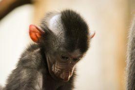 Pavian Baby Kopenhagen Zoo