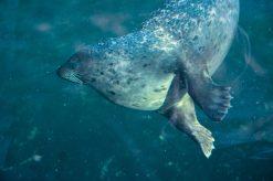 Seal swimming Kopenhagen Zoo