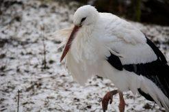 Stork Kopenhagen Zoo