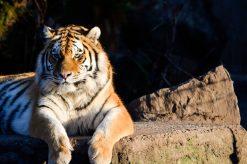 Tiger in the sun Kopenhagen Zoo