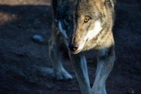 Wolf Kopenhagen Zoo