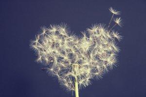 dandelion, heart, wish you