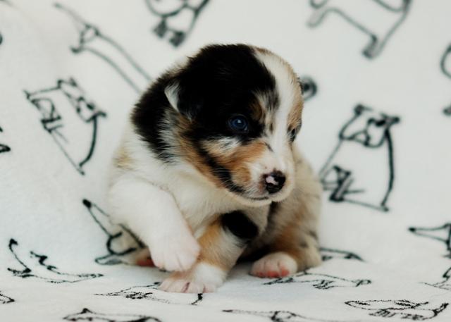 Puppy jessy Merlot