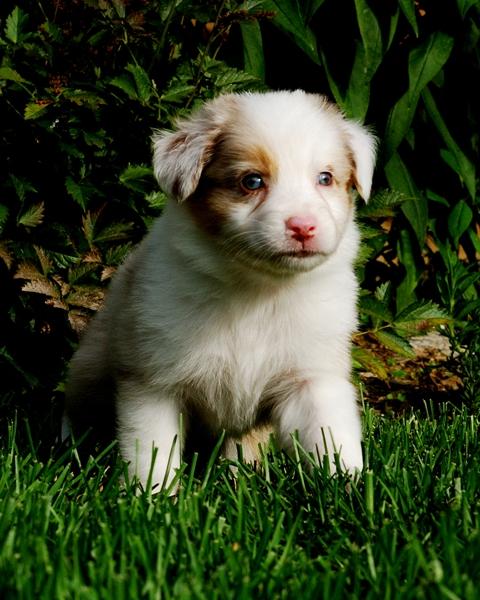 Puppy jessy Boulette