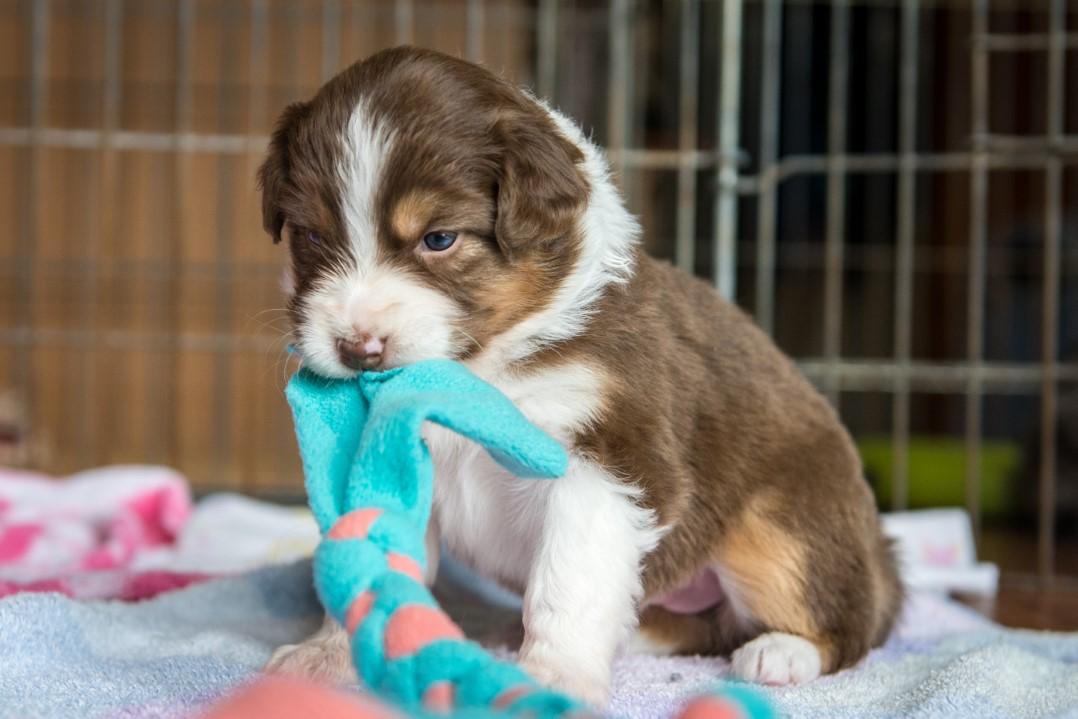 Stella puppy 2021 4w