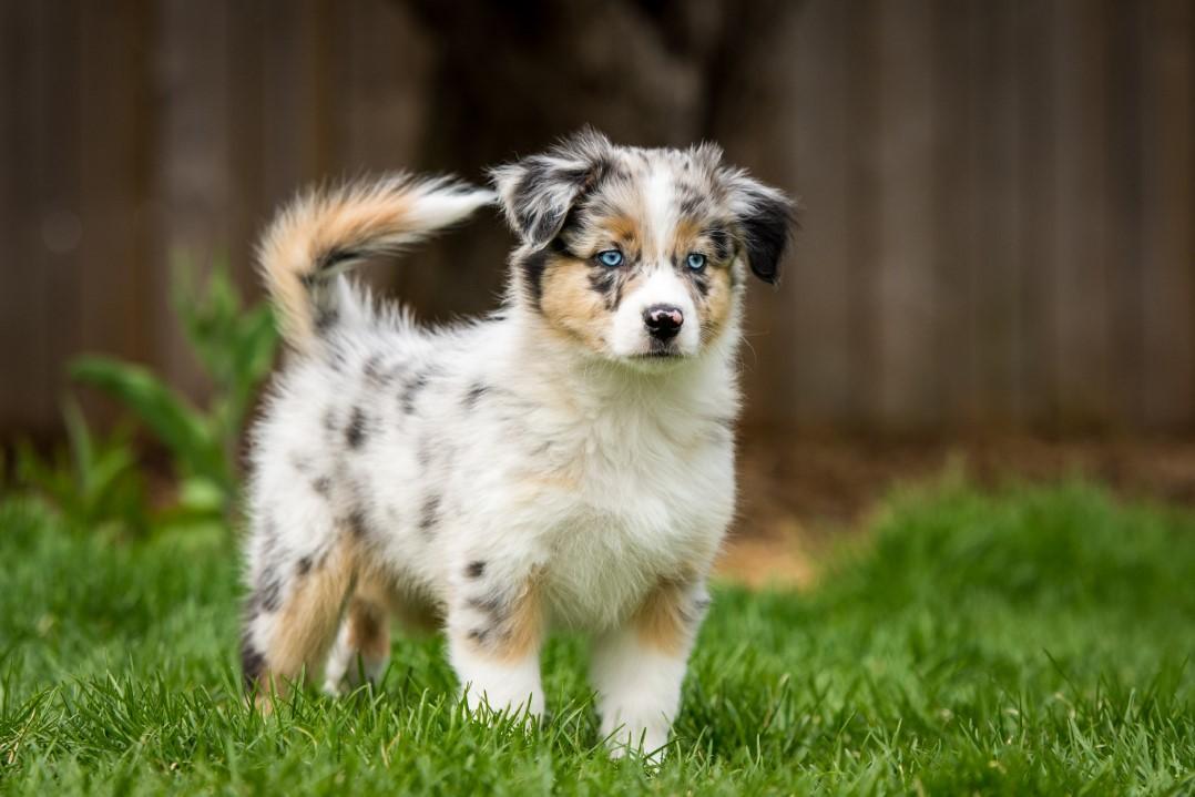 Blue puppy 2021 8w
