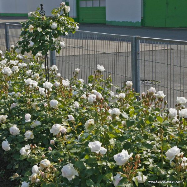 Роза Herzogin Christiana - Kordes (Германия) - купить ...