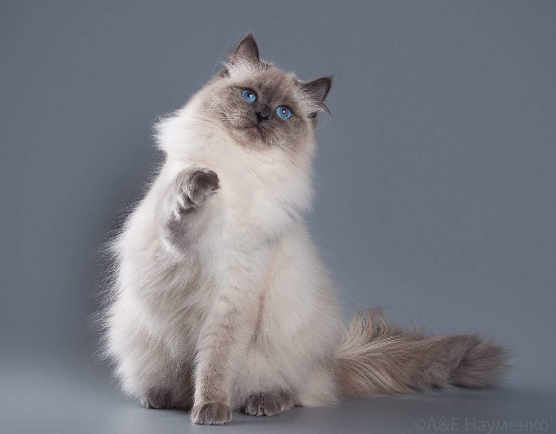 Картинки невестка маскарадная кошка
