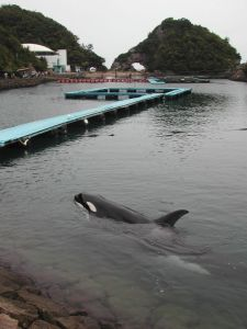 Nami in her cove in Taiji, Japan.