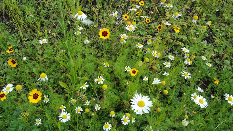 wild-daisies