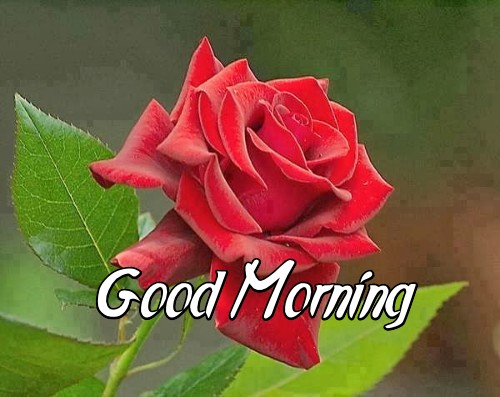 Good Morning Rose Flower Wish Friends Pics Mojly Images Nice Red