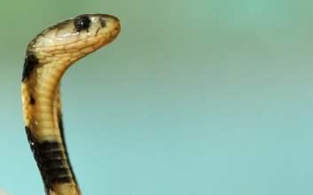 badarawuhi raut ular kkn di desa penari