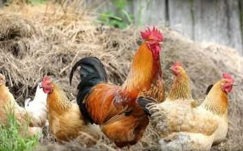 Tips Beternak Ayam di Rumah untuk Pemula