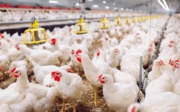 usaha ternak ayam mojok