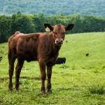 pengalaman anak-anak dikejar sapi saat main ke wonogiri mojok.co