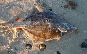 ikan terdampar tanda tsunami mitos penjelasan ilmiah penyebab ikan terdampar mojok.co