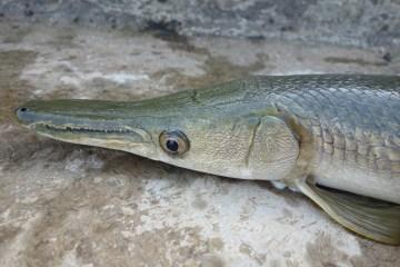 Ikan Alligator