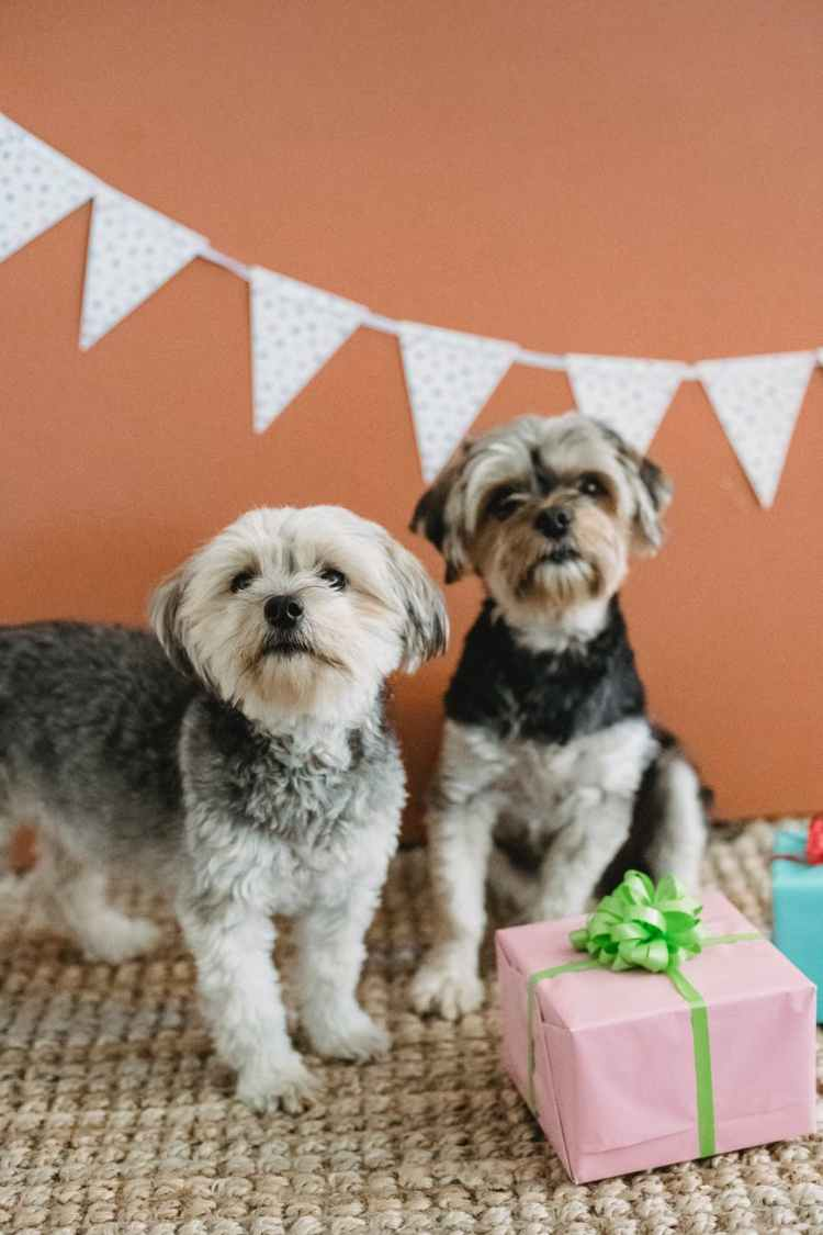 fluffy purebred puppies in decorated for birthday room
