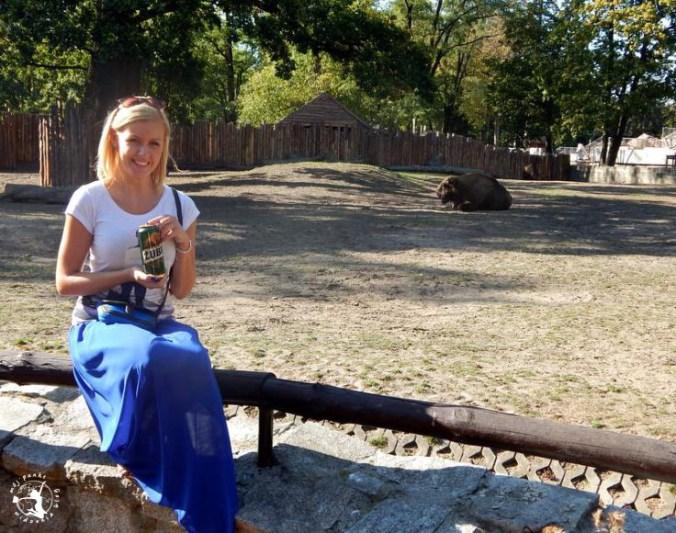 Mój Punkt Widzenia Blog - żubr odpoczywający w zoo, Wrocław