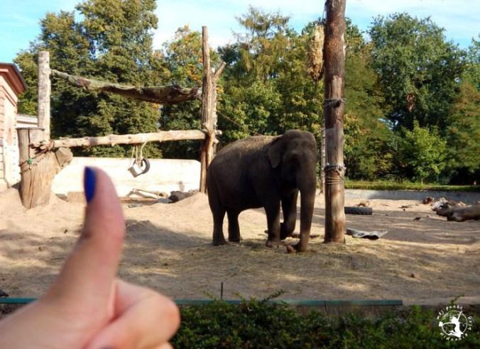 Mój Punkt Widzenia Blog - spacerujący słoń w zoo, Wrocław