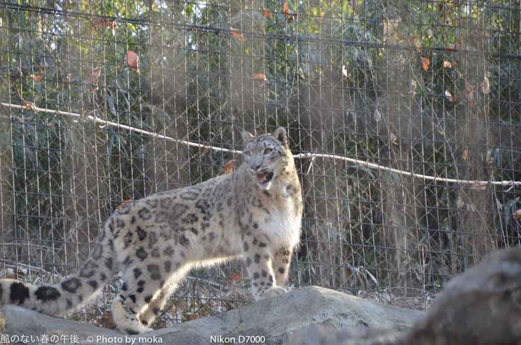 [6]Snow Leopard -ゆきひょう-