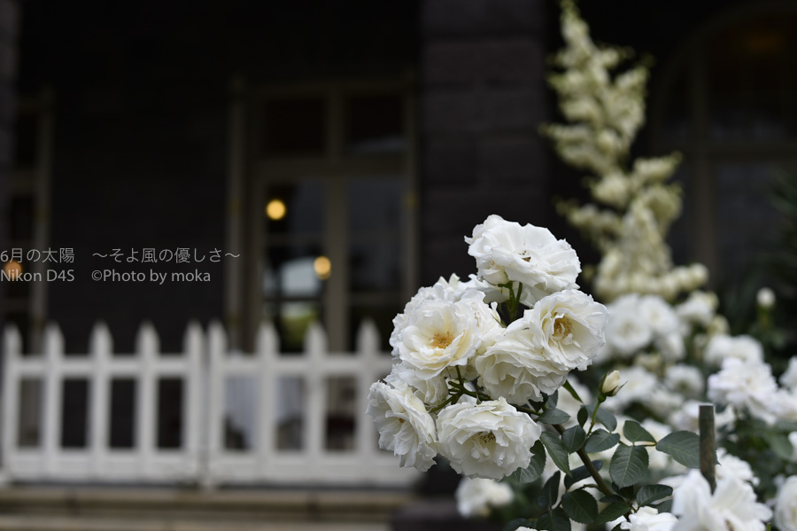 [6]春の薔薇の美しさに心が踊る
