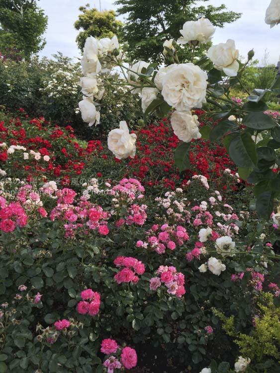 [6]憩いの場の公園で薔薇の花がお出迎え!