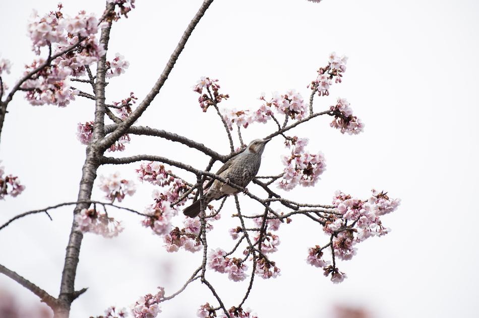[6]寒桜で観るヒヨドリの姿