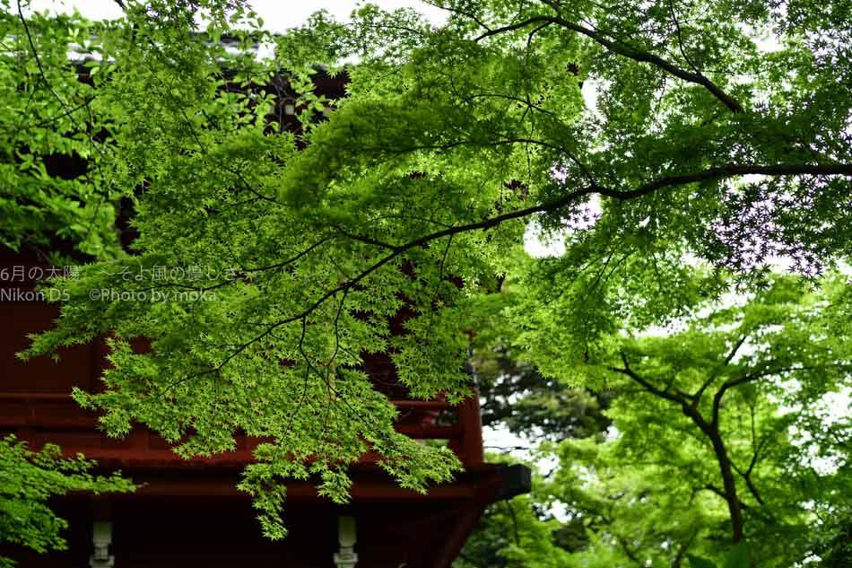 [6]本土寺の新緑の美しさ
