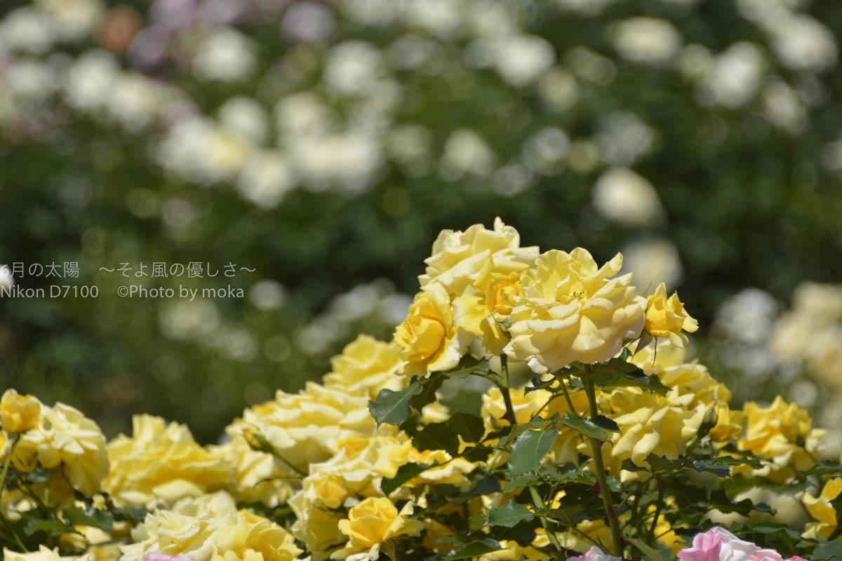 [6]春の薔薇を観るなら、朝一番を狙ってみては!?
